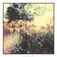 Tulipa Exposta II Fine Art Print