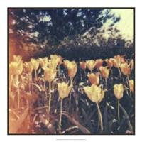 Tulipa Exposta III Fine Art Print