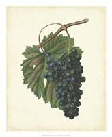 "Plantation Grapes I - 18"" x 22"""