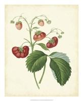 "Plantation Strawberries II - 18"" x 22"""