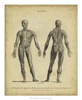 Anatomy Study IV Fine Art Print
