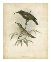 "Antique Gould Hummingbird II by John Gould - 18"" x 22"""