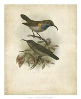 "Antique Gould Hummingbird III by John Gould - 18"" x 22"""