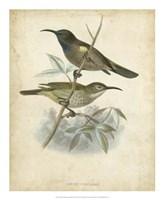 Antique Gould Hummingbird IV Fine Art Print