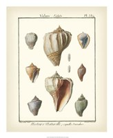 """Volute Shells, Pl.384 by Denis Diderot - 18"""" x 22"""""""