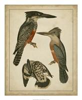 "Vintage Kingfishers I - 18"" x 22"", FulcrumGallery.com brand"