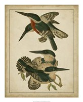 "Vintage Kingfishers IV - 18"" x 22"""