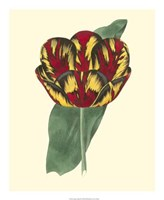 Antique Tulip III Fine Art Print