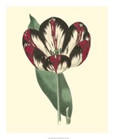 Antique Tulip IV Fine Art Print