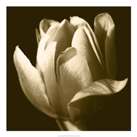 Sepia Tulip II Fine Art Print