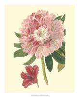 Pink Rhododendron Fine Art Print