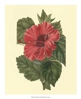Chinese Rose Mallow Fine Art Print