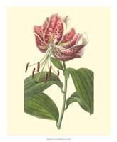 Japanese Lily Fine Art Print