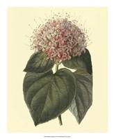 Fragrant Clerodendron Fine Art Print