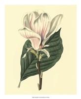 Yulan Magnolia Fine Art Print