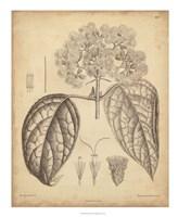 Vintage Curtis Botanical I Fine Art Print