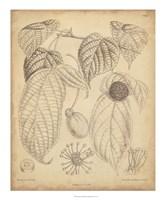Vintage Curtis Botanical III Fine Art Print