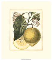French Lemon Study I Fine Art Print