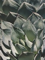 Agave Plant Pictures