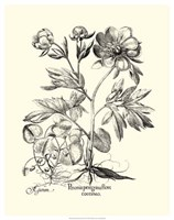 Black and White Besler Peony III Fine Art Print