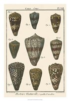"""Cone Shell pl. 318 by Vision Studio - 18"""" x 26"""""""
