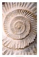 "Ammonite II by Vision Studio - 18"" x 26"""