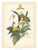 "Birds of the Tropics IV by John Gould - 20"" x 26"""