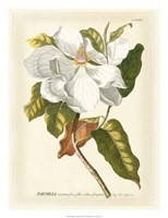 Magnificent Magnolias I Framed Print