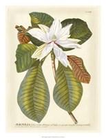 Magnificent Magnolias II Fine Art Print