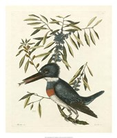 Antique Kingfisher II Fine Art Print