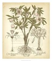 Tinted Besler Botanical I Fine Art Print