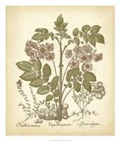 Tinted Besler Botanical III Fine Art Print