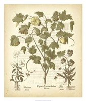 "Tinted Besler Botanical IV by Basilius Besler - 22"" x 26"""