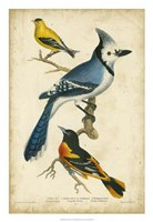 "Wilson's Blue Jay by Alexander Wilson - 26"" x 26"""