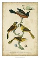 Wilson's Orchard Oriole Fine Art Print
