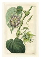 Antique Passionflower I Fine Art Print