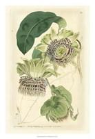 Antique Passionflower II Fine Art Print