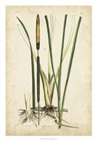 "Antique Cattail II by Edward S. Curtis - 18"" x 26"""