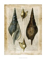 "Antiquarian Seashells II by Vision Studio - 22"" x 28"""