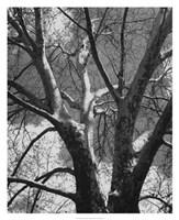 "Classic Birch II by Ethan Harper - 26"" x 32"""