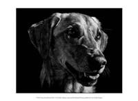 """Canine Scratchboard XXIV by Julie Chapman - 13"""" x 10"""""""