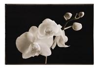 Phalaenopsis Fine Art Print