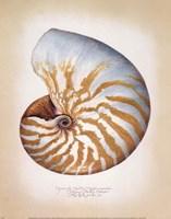 Chambered Nautilus Fine Art Print