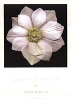 Garden Anemone Fine Art Print