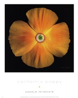California Poppy Fine Art Print