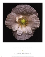 White Poppy Fine Art Print
