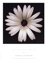 Sunscape Daisy Fine Art Print