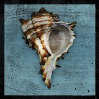 Horned Whelk Framed Print