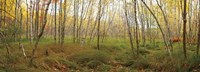 Birch Forest Panorama Fine Art Print