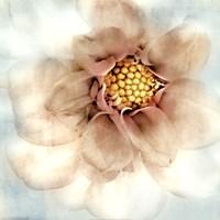 """Soft Dahlia by Donna Geissler - 18"""" x 18"""""""